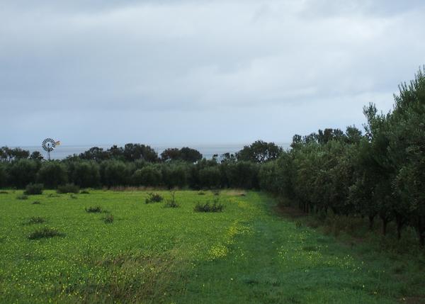 olives (1 of 1)-4