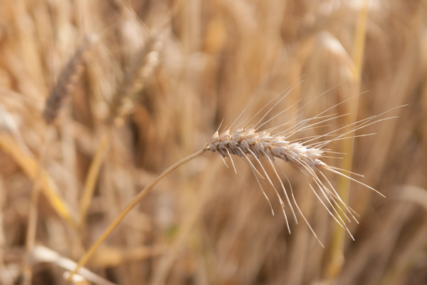 wheat (2 of 9)